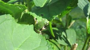 Ohio Tree Frog